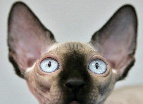 Канадская голая кошка-сфинкс на показе Pets Fashion Week Russia в Москве.