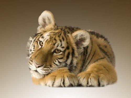 Обои с тиграми