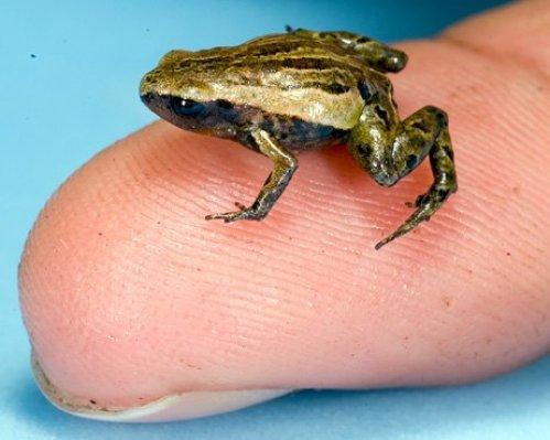 Одна из самых маленьких лягушек